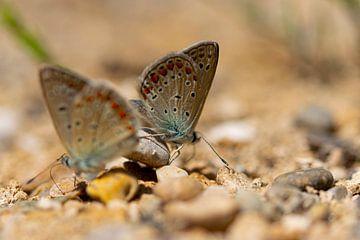 vlinders van Renske van der Leij