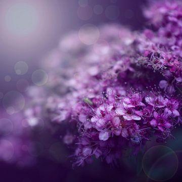 Purple dreams sur Danny van den Berg