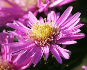 Roze, bijna uitgebloeide, bloem