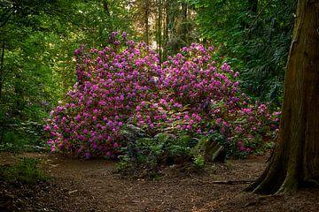 Rododendron onder de bomen van Jenco van Zalk