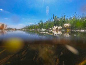 Waterlelies in de sloot. van Abe Maaijen