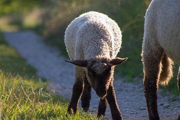 Junges Schaf von Renate Dohr