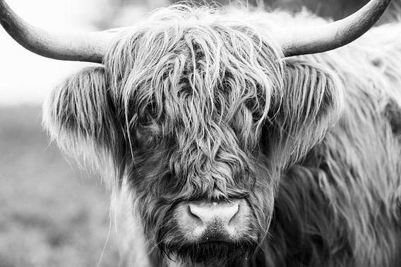 Portret van een Schotse Hooglander in zwart wit