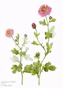 Chrysant, Chrysanthemum morifolium van Ria Trompert- Nauta