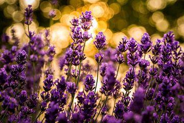 Lavendel in Gold von Hilda Koopmans