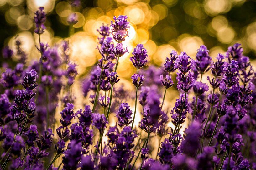 Lavendel in het goud van Hilda Koopmans