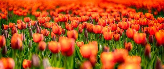 Orange Love van Alex Hiemstra