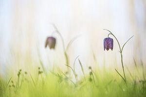 Wilde kievitsbloemen van