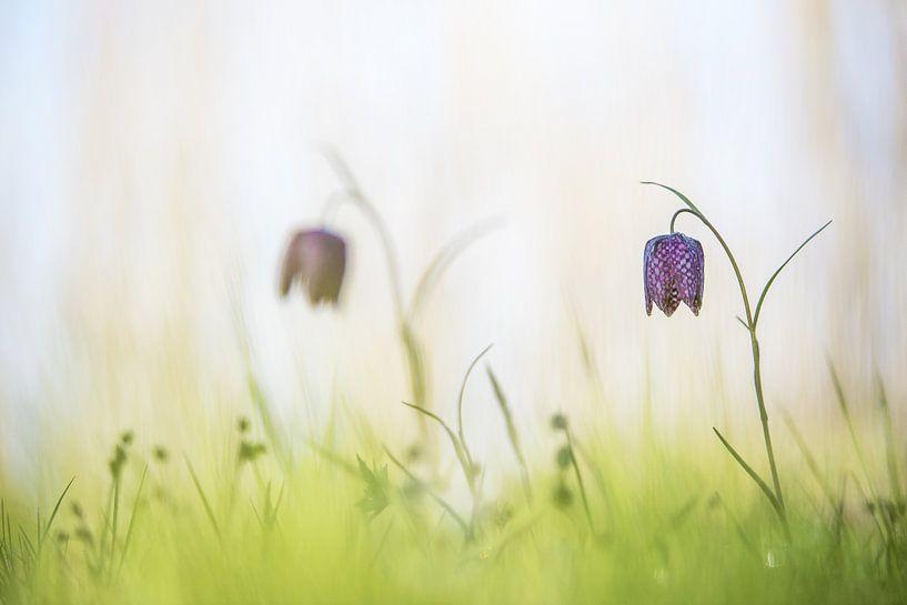 Wilde kievitsbloemen van Gonnie van de Schans