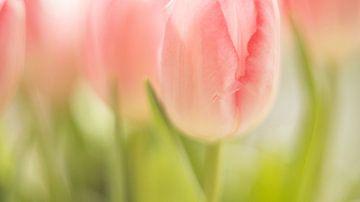 Tulpe von Janny Kleijn