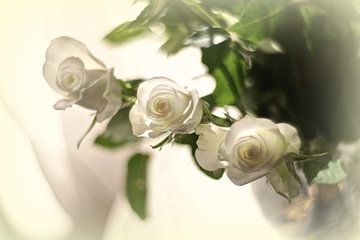 Witte rosen van Marianna Pobedimova
