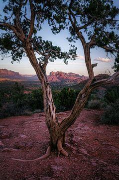 Wacholder-Baum-Fenster von Joris Pannemans - Loris Photography