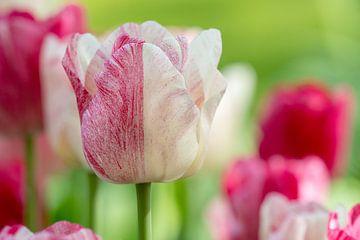 Tulpe in Rot und Weiß von René Roelofsen