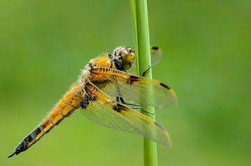 Viervlek (Libellula quadrimaculata) von Richard Guijt Photography