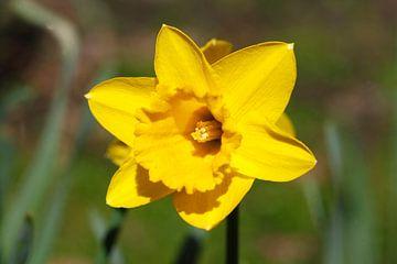 Narcisbloem (Narcissus Pseudonarcissus) van Torsten Krüger