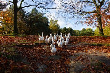 Troep ganzen van Stefan Zwijsen