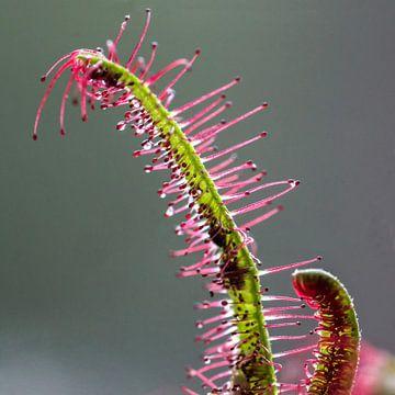 macro van Zonnedauw, een vleesetende plant van Pauline Aalfs