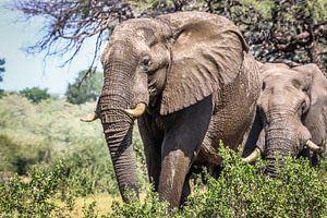 Schitterende Afrikaanse Olifanten
