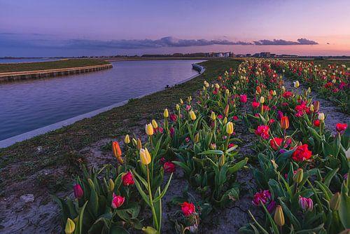 Tulpen in Zeewolde.