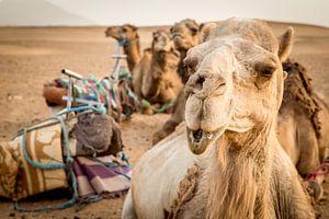 Camels in Sahara van