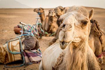 Camels in Sahara sur Julian Buijzen
