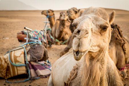 Camels in Sahara van Julian Buijzen