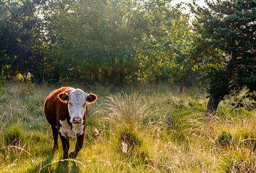 Hereford koe in een natuurgebied van Ruud Morijn