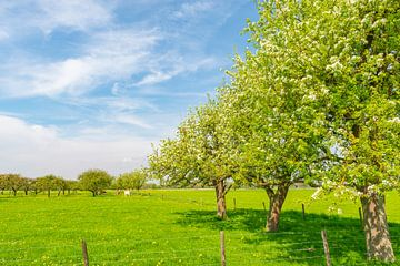 Appelbomen in een boomgaard met witte bloesem in de lente van Sjoerd van der Wal