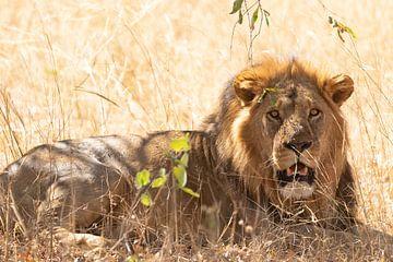 Mannetjes leeuw van GoWildGoNaturepictures