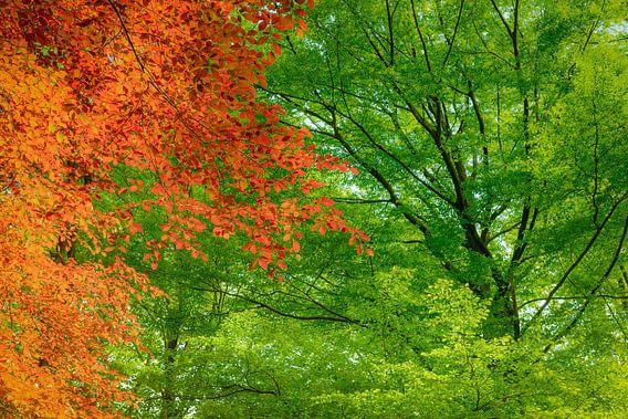 Rode Beuk in het groen