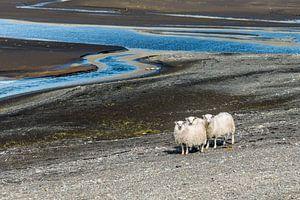 Drie schapen die je aanstaren bij een rivier in IJsland