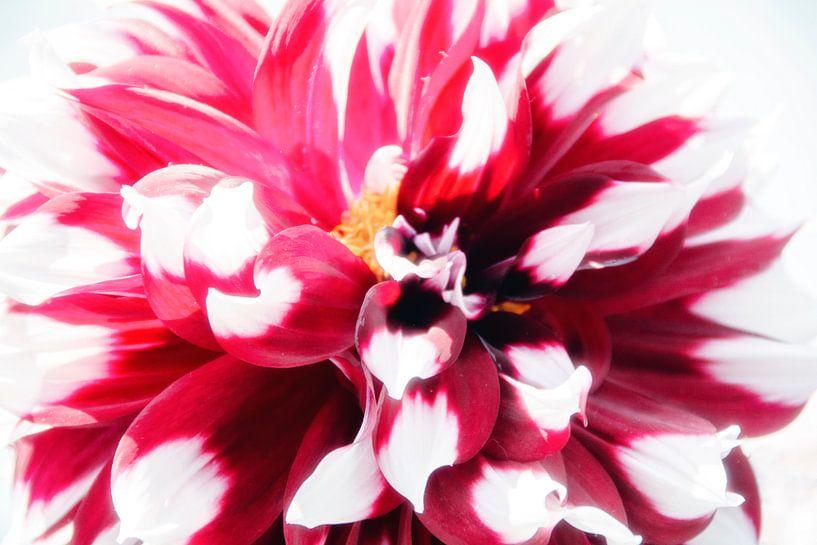 Fleurs en Highkey sur Roland de Zeeuw fotografie