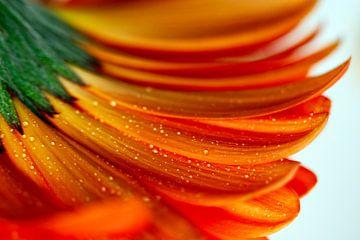 Orangefarbene Gerbera-Blüte mit Wassertropfen von Klik! Images