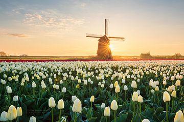 Holländische Tulpen von Pieter Struiksma