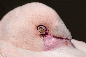 Flamingo : Ouwehands Dierenpark van Loek Lobel