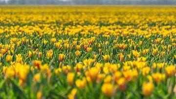 Gelbe Blumen im Blumenzwiebelfeld Flevoland von Jessica Lokker