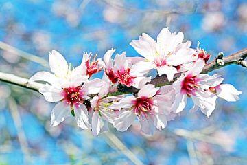 Amandel bloesem in het voorjaar in Portugal sur Nisangha Masselink