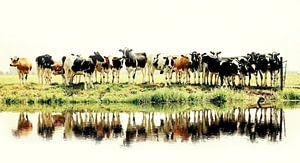 koeienfoto
