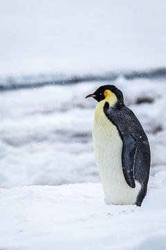 Keizerspinguin - Antarctica
