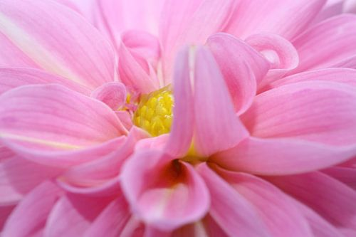 Pink Dahlia van LHJB Photography
