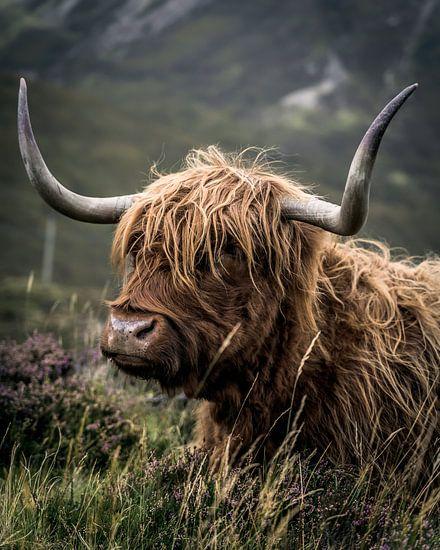 Schottischer Hochlandbewohner