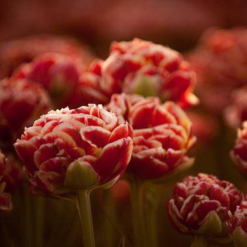 Hollandse tulpen rood vierkant van patricia petrick