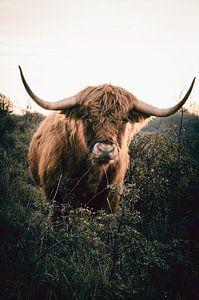 Schotse Hooglander van Claire Groeneveld