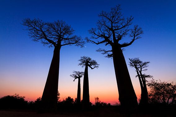 Dark Baobabs van Dennis van de Water