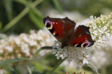 Dagpauwoog vlinder op witte Buddleia van