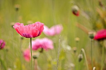 Roze Papavers  van Marjan Kooistra