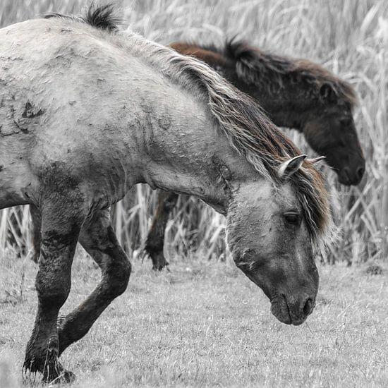 Konikpaarden in de Oostvaardersplassen