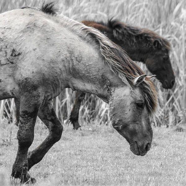 Konikpaarden in de Oostvaardersplassen van Ricardo Bouman | Fotografie