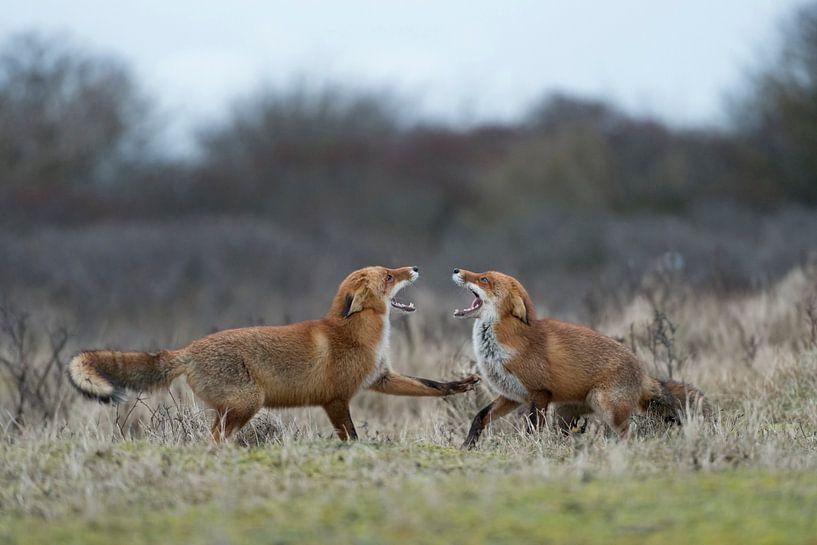 Red Foxes  * Vulpes vulpes * in fight, baring teeth van wunderbare Erde