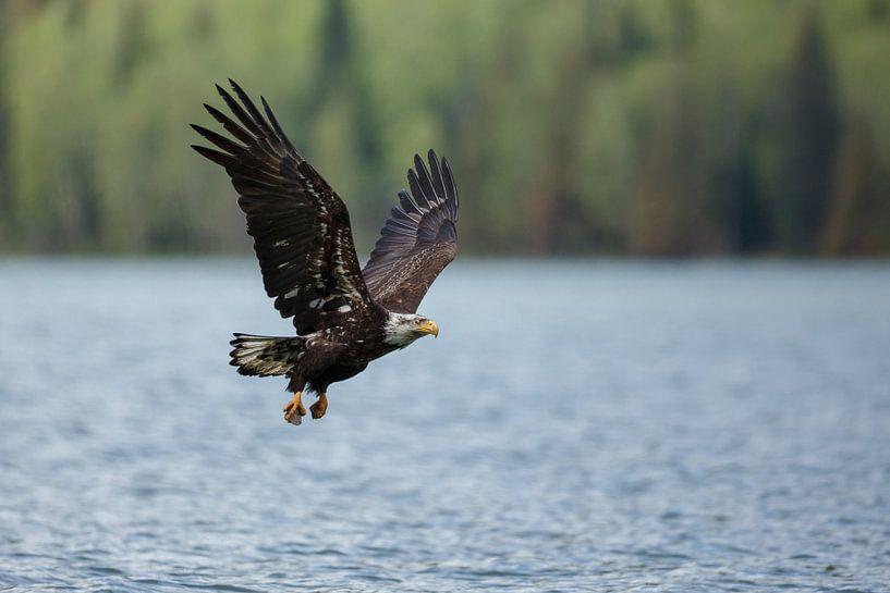Bald eagle flight sur Menno Schaefer